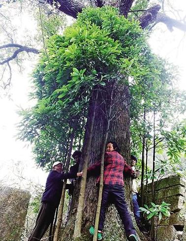 重庆800岁金丝楠木