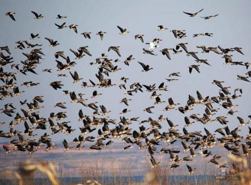 越冬候鸟迁徙高峰1